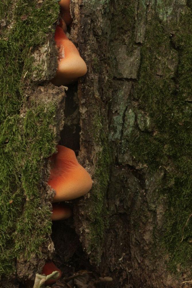 Baumspaltenbewohne einer Eiche