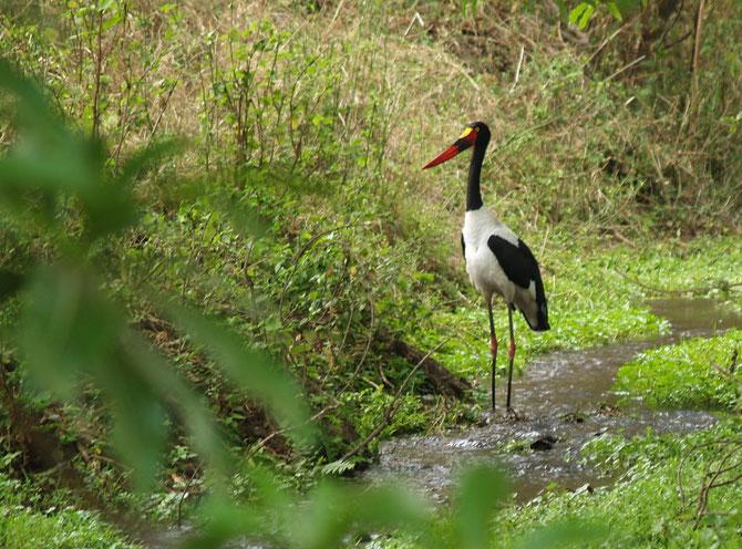 Sattelstorch (Ephippiorhynchus senegalensis) im Ngorongo-Krater in Tazania