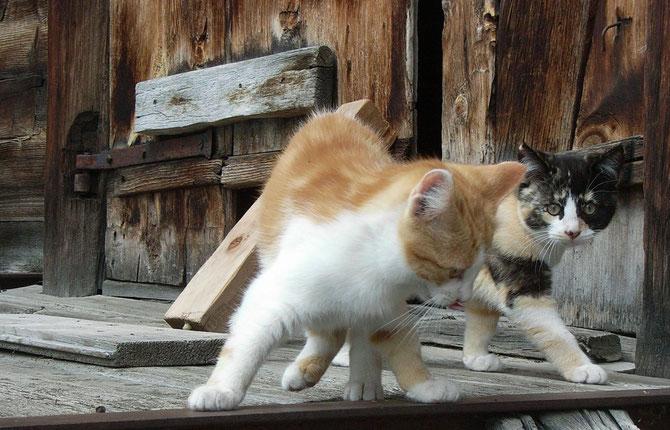 Katzen in Saas Fee
