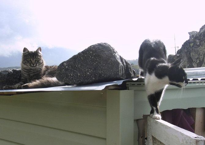 Katzen auf dem (kalten) Blechdach im Basislager Elbrus von Norden, 26.07.2008
