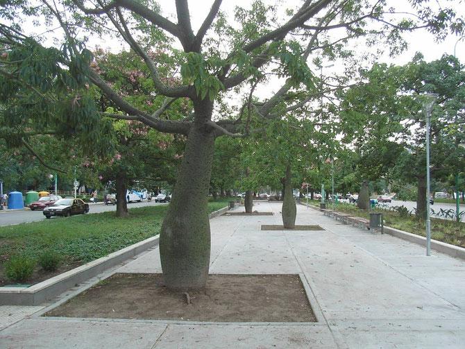 Ceiba (Flaschenbaum)