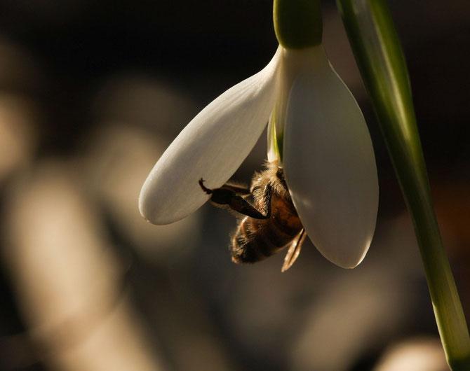 Schneeglöckchen und Pelzbiene (Wildbiene)