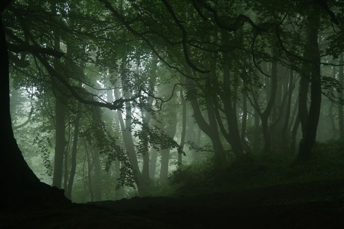 Nebel im Buchenwald oberhalb Belfast