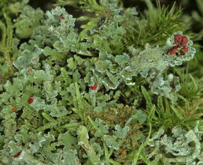 Apothecien der Cladonia, 26.09.2014 aus 6 Aufnahmen
