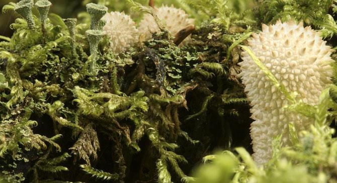 Flaschenbovist und Cladonia im Moos, 30.08.2014, aus 11 Aufnahmen