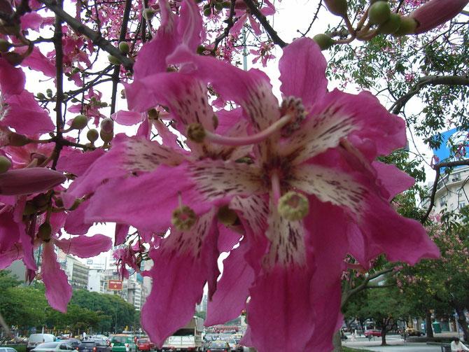 Buenos Aires, Blüte des Ceiba
