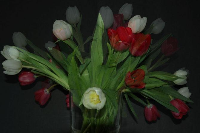 Tulpen rot und weiß
