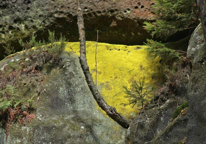 Schwefelgelbe Flechte im Elbsandsteingebirge