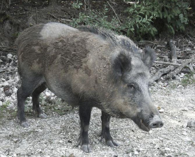 Wildschwein am Wegesrand