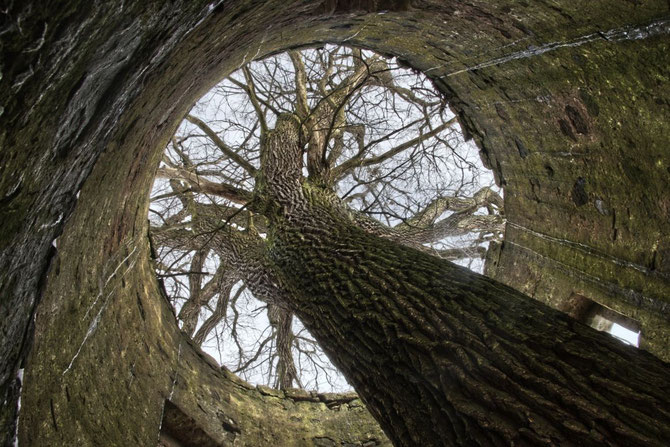 Baum im  etwa 10 m hohen Turm, hier stellt sich die Frage:Wer war zuerst da? Baum oder Turm.