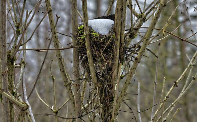 Nest im Holunderstrauch