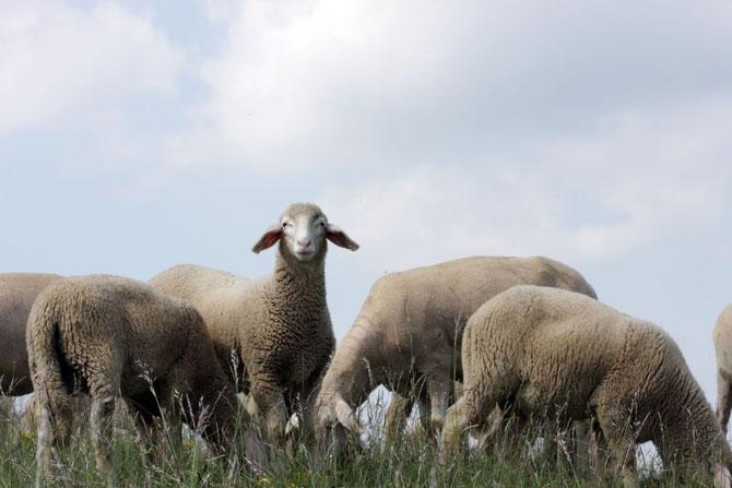 Schafe am Petersberg, 24.05.2008, 10:24 Uhr