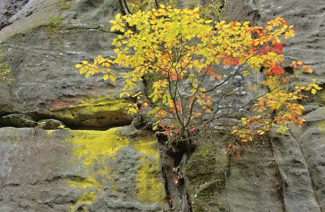 Schwefelgelbe Flechte im Elbsandsteingebirge, hier schein das Gelb von den Blättern des Strauches zu stammen