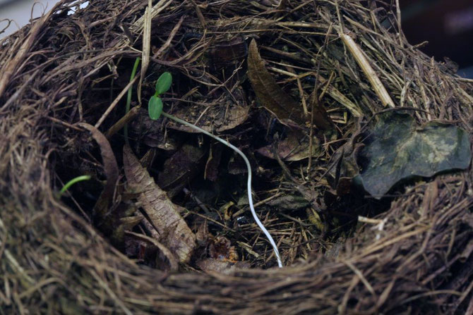 Altes Nest in dem ein zartes Pflänzchen seinen Nährboden gefunden hat
