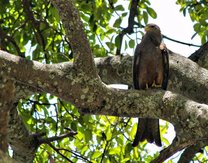 Adler in Tanzania, mehrere saßen oberhalb der Safaritouristen und entrissen diesen durch schnellen Zugriff Hühnchenschlägel oder ganze Koteletts