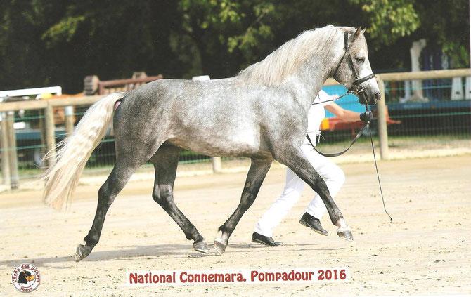 Dexter âgé de 3 ans lors du National Connemara 2016 à Pompadour. Ph. L'écho des poneys
