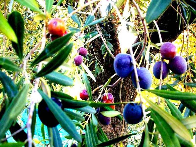 Oliven, Amfissa, natürliche Farben