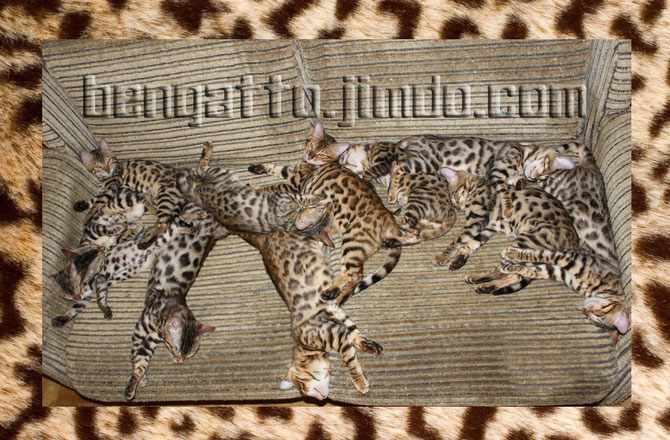 Продажа бенгальских котят питомника Bengatto