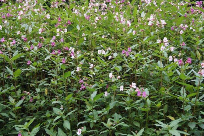 Ind. Springkraut steht so dicht und erzeugt eine enorme Blattmasse, dass andere heimische Pflanzen keine Chance haben.