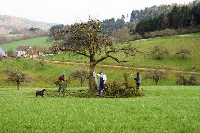 Heute  selten, Obstbaumhochstämme, die in Ackerflächen überdauern und nicht dem Einsatz großer Maschinen weichen müssen.