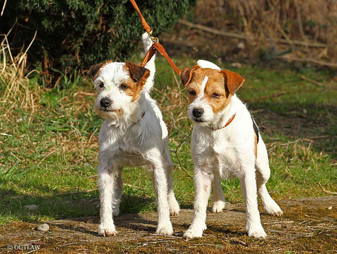 Foxwarren Tucker & Candy von Valentino Rossi; Ostern 2015 (c) Antje Heller; Outlaw British Jack Russell Terrier
