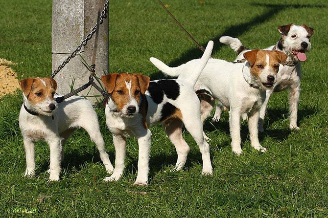 (c) Antje Heller, Outlaw British Jack Russell Terrier