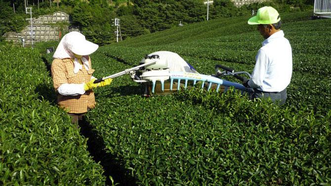 和束 茶畑