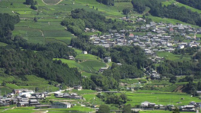茶畑と隣り合う家々の甍(原山の茶畑)