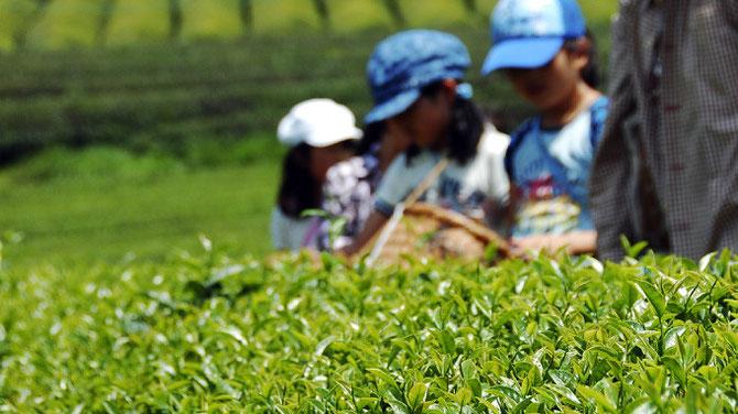 和束町 茶摘み体験