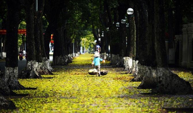 HANOI 2016.  C'est déjà l'AUTOMNE, la plus belle saison dans la capitale du Nord avec les fleurs de lait (fleurs des Alstonias) qui embaument certaines rues jonchées de feuilles jaunes.