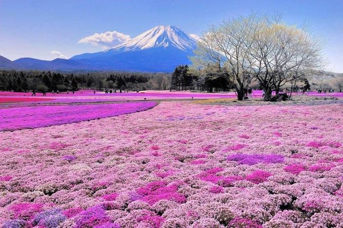 JAPON. PRINTEMPS AU MONT FUJI, REGION DES CINQ LACS. SHIBAZEKURA-CERISIERS FLEURS NAINS TAPISSANT LE SOL.