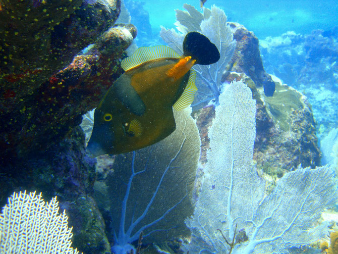 WHITESPOTTED FILEFISH.