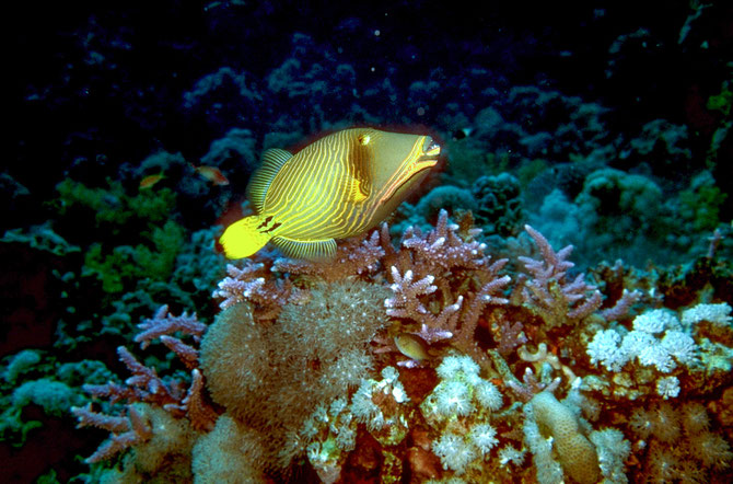ORANGE STRIPED TRIGGERFISH