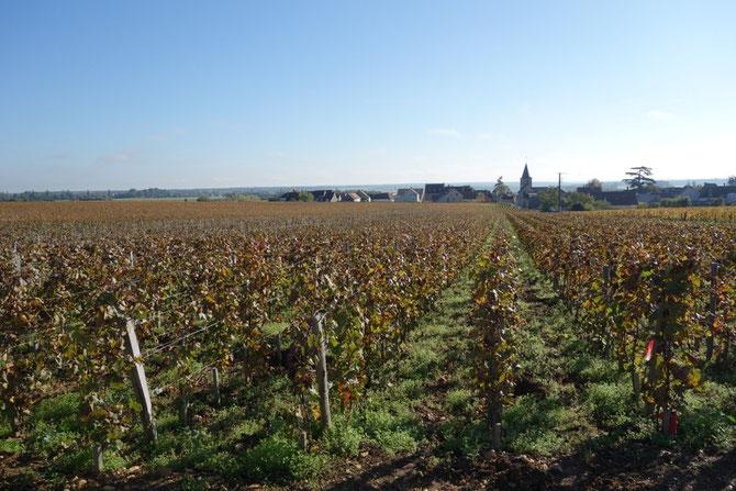 LA ROMANEE SAINT VIVANT FACE AU VILLAGE DE VOSNE : 8,37 ha. NOUVELLE PARCELLE REPLANTEE EN 2010. SOLS VOISINS DE LA ROMANEE-CONTI MAIS  PLUS PROFONDS (90 cm).