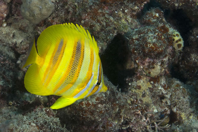 GOLDBARRED-BUTTERFLY FISH (Chaetodon Rainfordi)