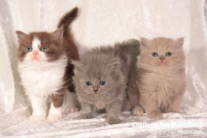 3 chatons longhairs tous réservés