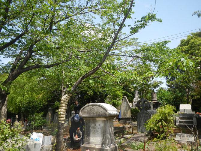 2013年4月18日撮影 腐朽枝切除後(裏側から撮影)