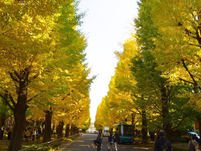 慶応大日吉校舎前の変わらぬ見事な銀杏並木