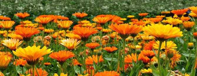 Ringelblumen - homöopathisch unter anderem eingesetzt zur Behandlung von Narben und schlecht heilenden Wunden.