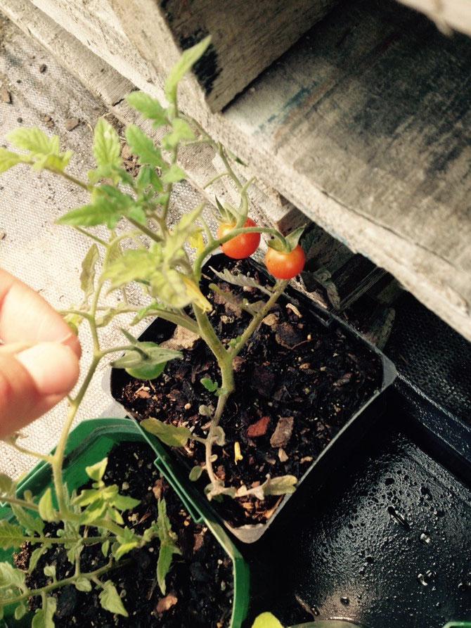 Baby Tomaten!