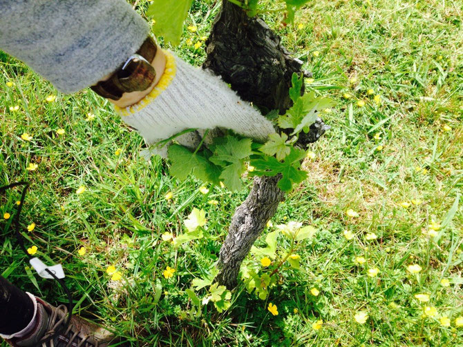 Feldarbeit auf dem Vineyard