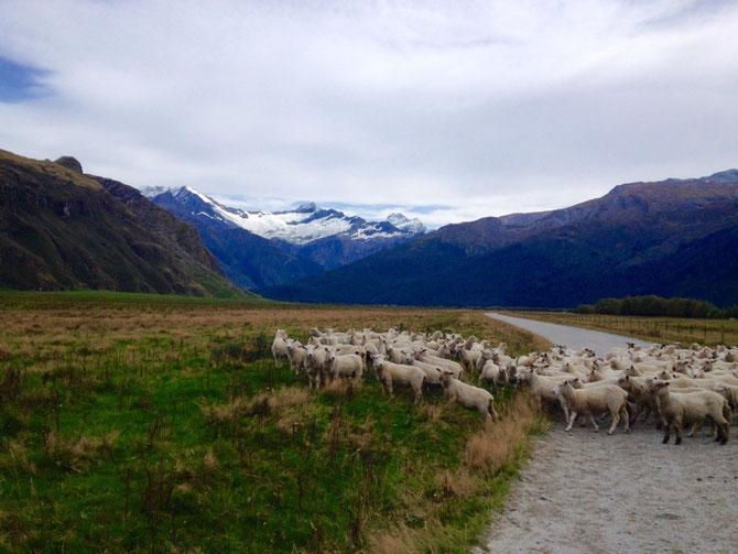 Schafe auf dem Weg haha