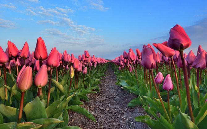 546. Rood tulpenveld (6073)
