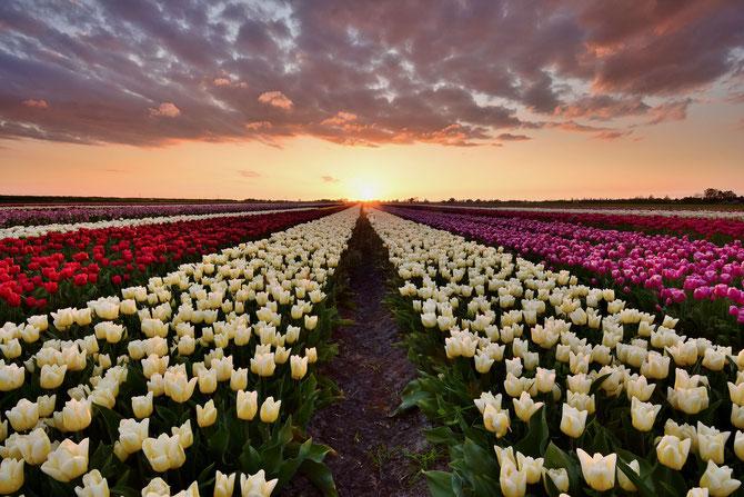 534. Tulpenveld bij zonsondergang (6692)