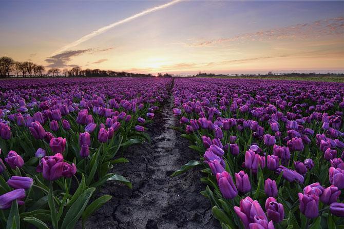 555. Witte tulpen bij zonsondergang in de Beemster
