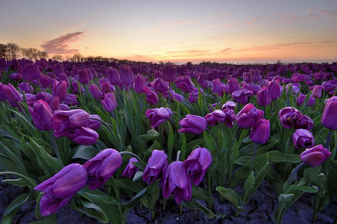 553. Fuchsia tulpen bij zonsondergang in de Beemster (3022)