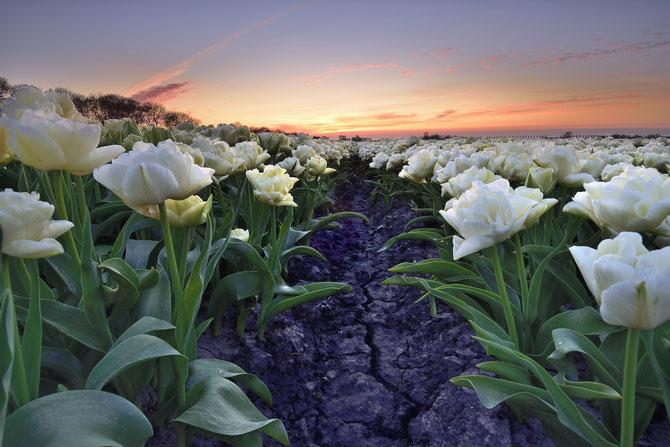 557. Witte tulpen bij zonsondergang in de Beemster (3019-3020)