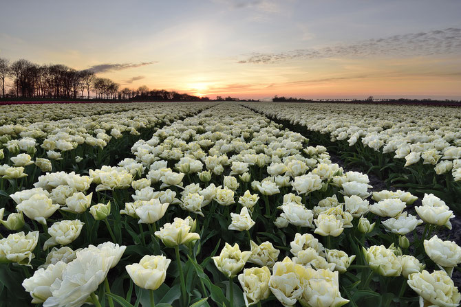 555. Witte tulpen bij zonsondergang in de Beemster (2984)