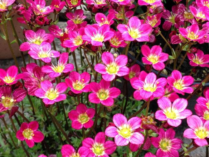 Moossteinbrech Steingartenblümchen