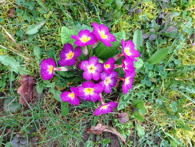 Primel Frühjahrsblüher Garten